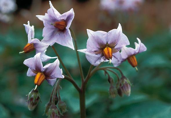 Son élégante fleur. (Photo Christiane Dorléans © Patrimoine Normand.)