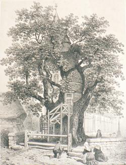 Chêne d`Allouville XIXe siècle