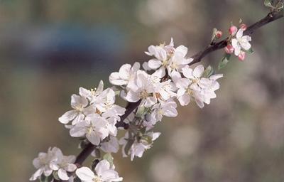 Fleurs de pommiers. (Photo Alexandre Vernon © Patrimoine Normand.)