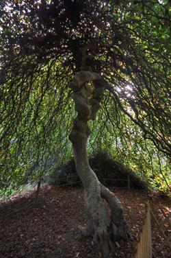 Hêtre Tortillard à l'arboretum du domaine d'Harcourt (Photo Rodolphe Corbin © Patrimoine Normand).
