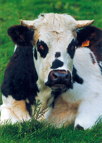 La race bovine normande - Comment la reconnaître ? (Photo Eric Bruneval © Patrimoine Normand.)
