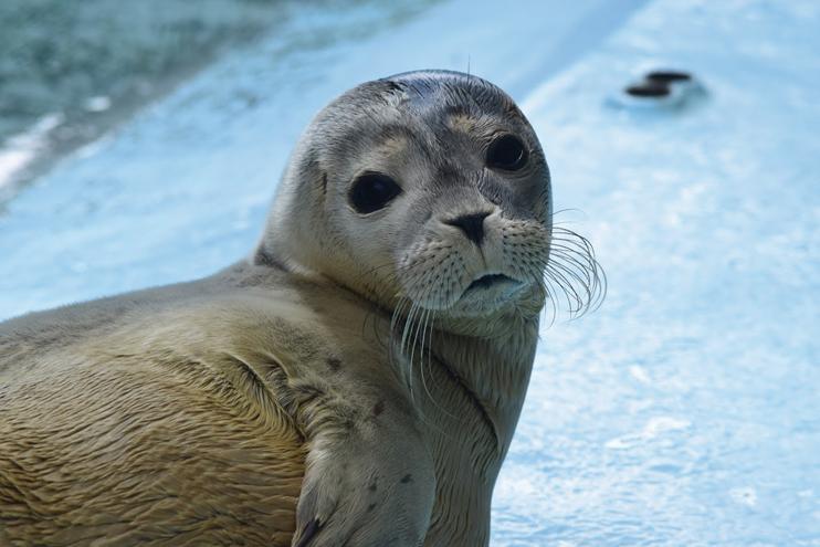 Régulièrement des phoques sont relâchés, notamment dans la baie du mont Saint-Michel (© CHENE).